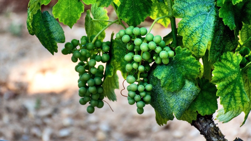Grapes in the South of France